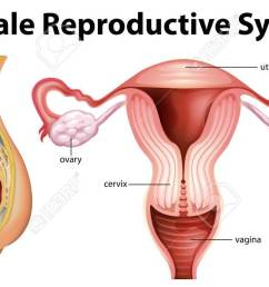 diagram showing female reproductive system illustration stock vector 70725321 [ 1300 x 663 Pixel ]