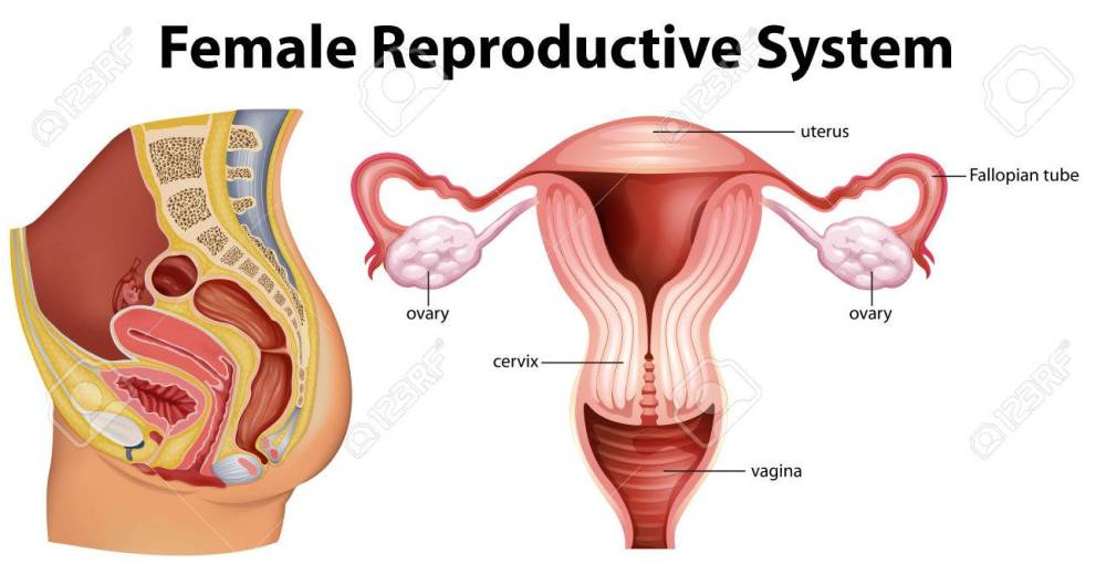 medium resolution of diagram showing female reproductive system illustration stock vector 70725321