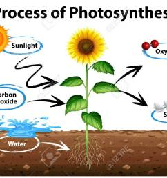 diagram showing sunflower and process of photosynthesis illustration stock vector 71260378 [ 1300 x 954 Pixel ]
