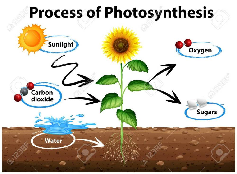 medium resolution of diagram showing sunflower and process of photosynthesis illustration stock vector 71260378