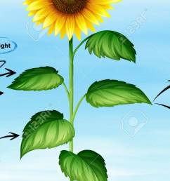diagram showing sunflower and photo synthesis illustration stock vector 84703773 [ 1300 x 697 Pixel ]