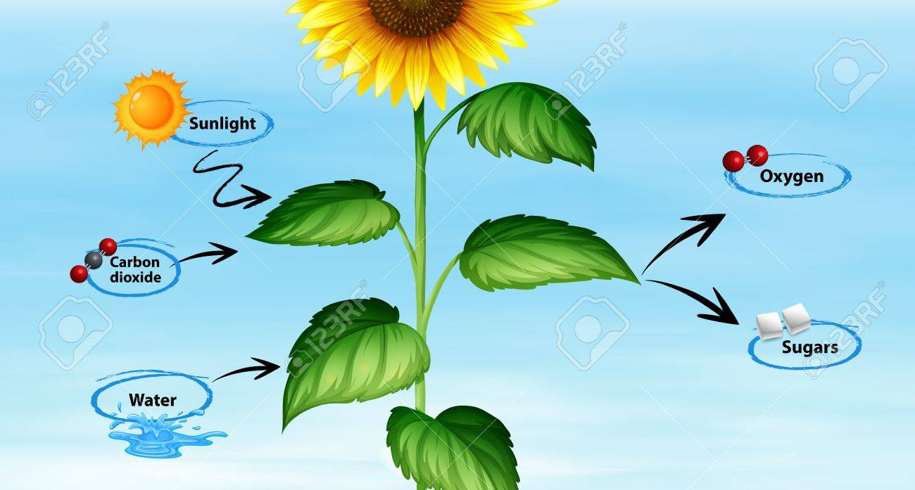 hight resolution of diagram showing sunflower and photo synthesis illustration stock vector 84703773