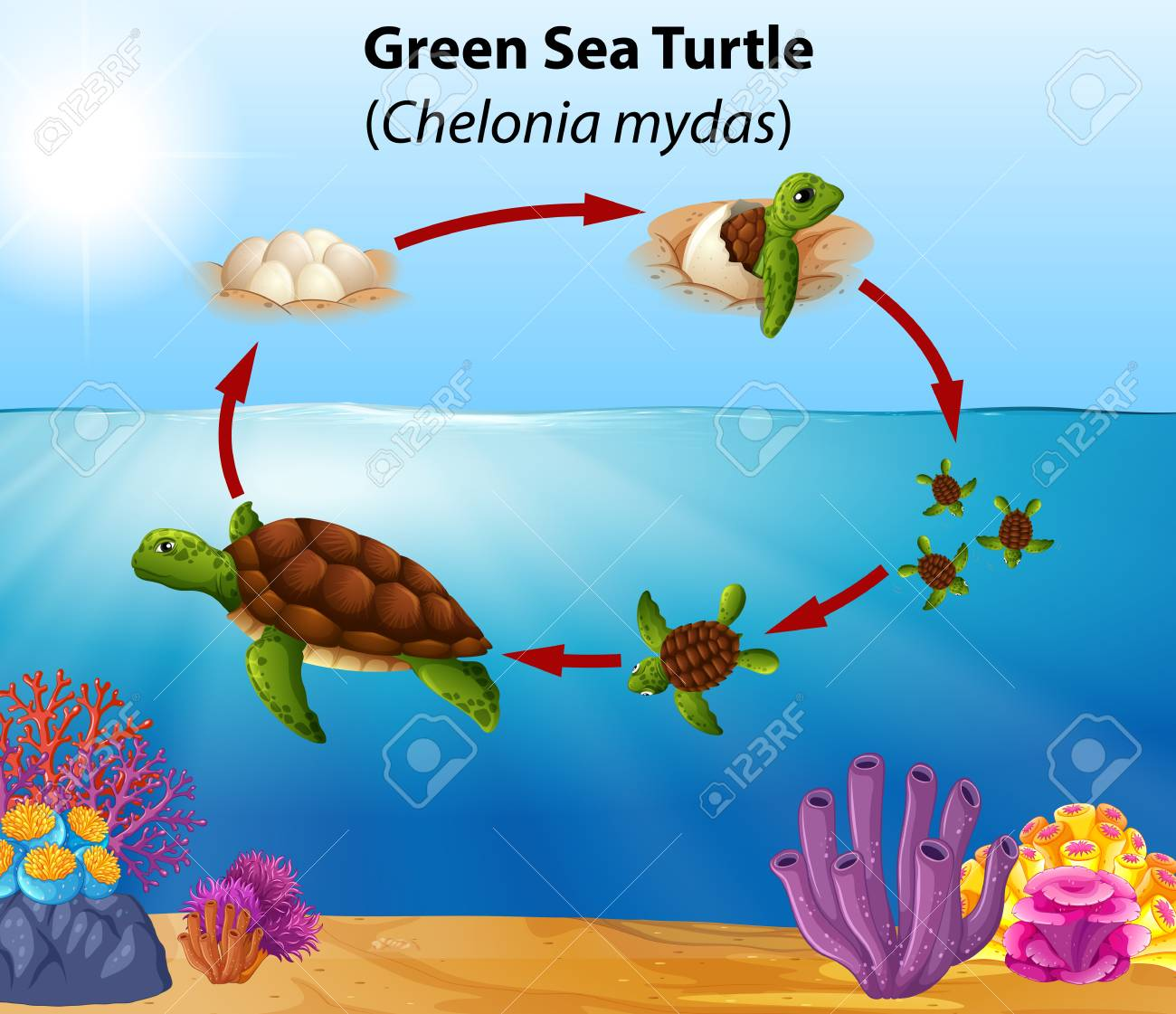 Green Sea Turtle Life Cycle Illustration Royalty Free Cliparts Vectors And Stock Illustration Image 113900984