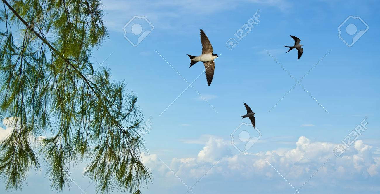 free flying birds swallow