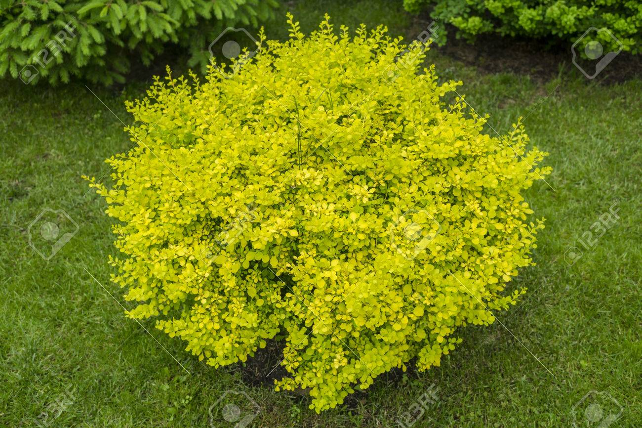 Yellow Round Bush In The Garden Stock Photo Picture And Royalty Free Image Image 41561276