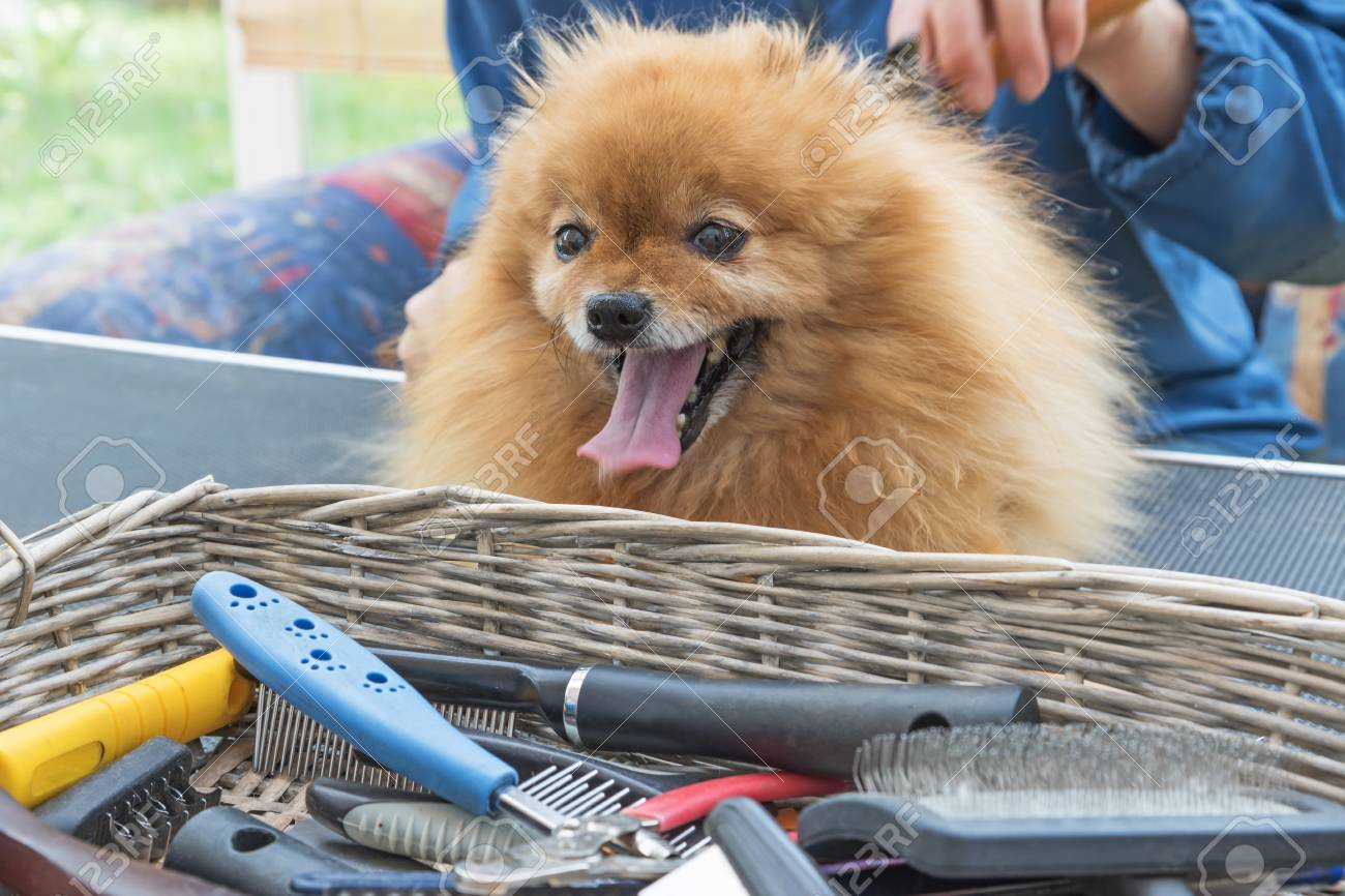 Pomeranian German Spitz Dog Is Combed On The Grooming Table And Stock Photo Picture And Royalty Free Image Image 59840245