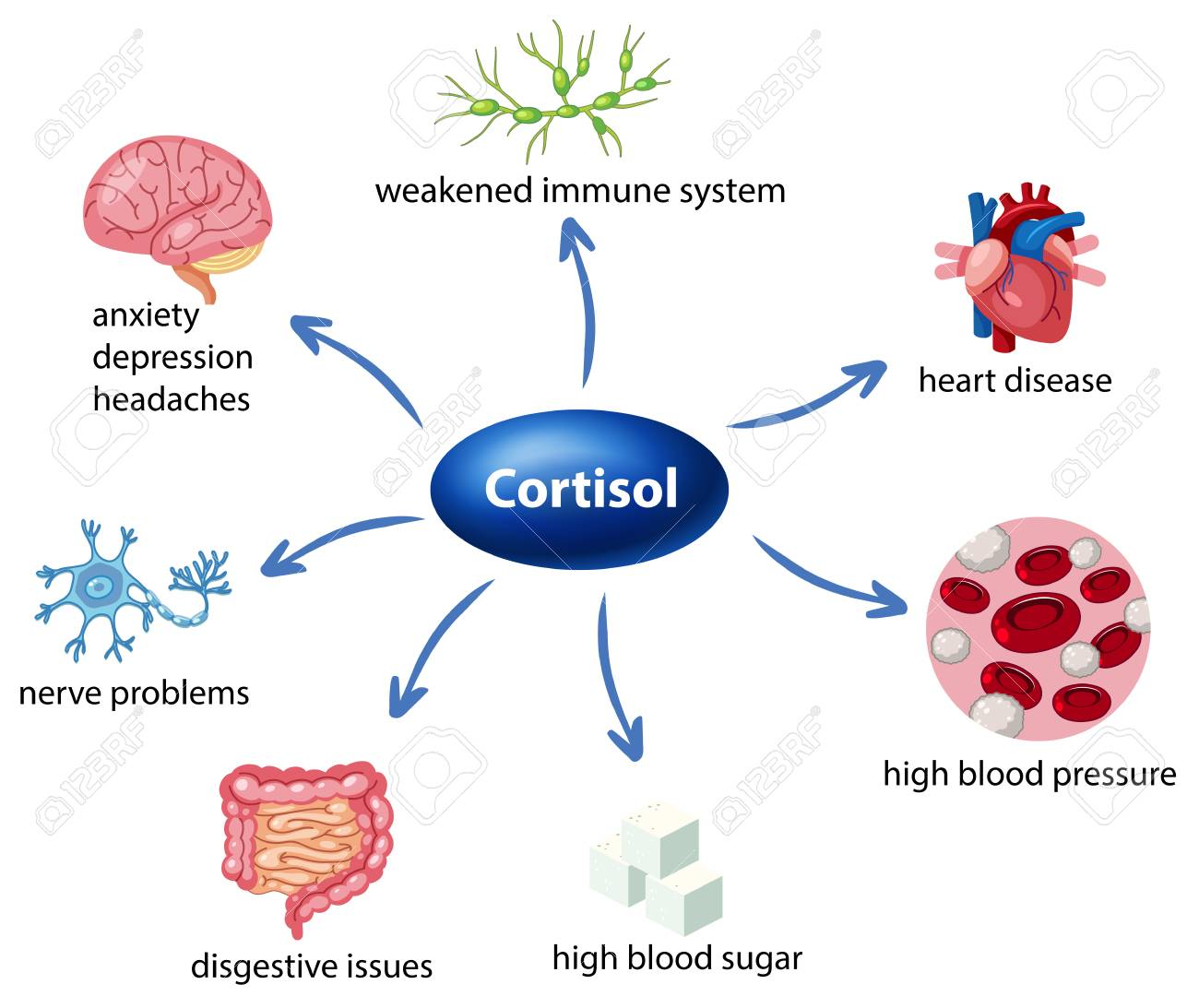 hight resolution of the role of cortisol in the body diagram illustration stock vector 103748544