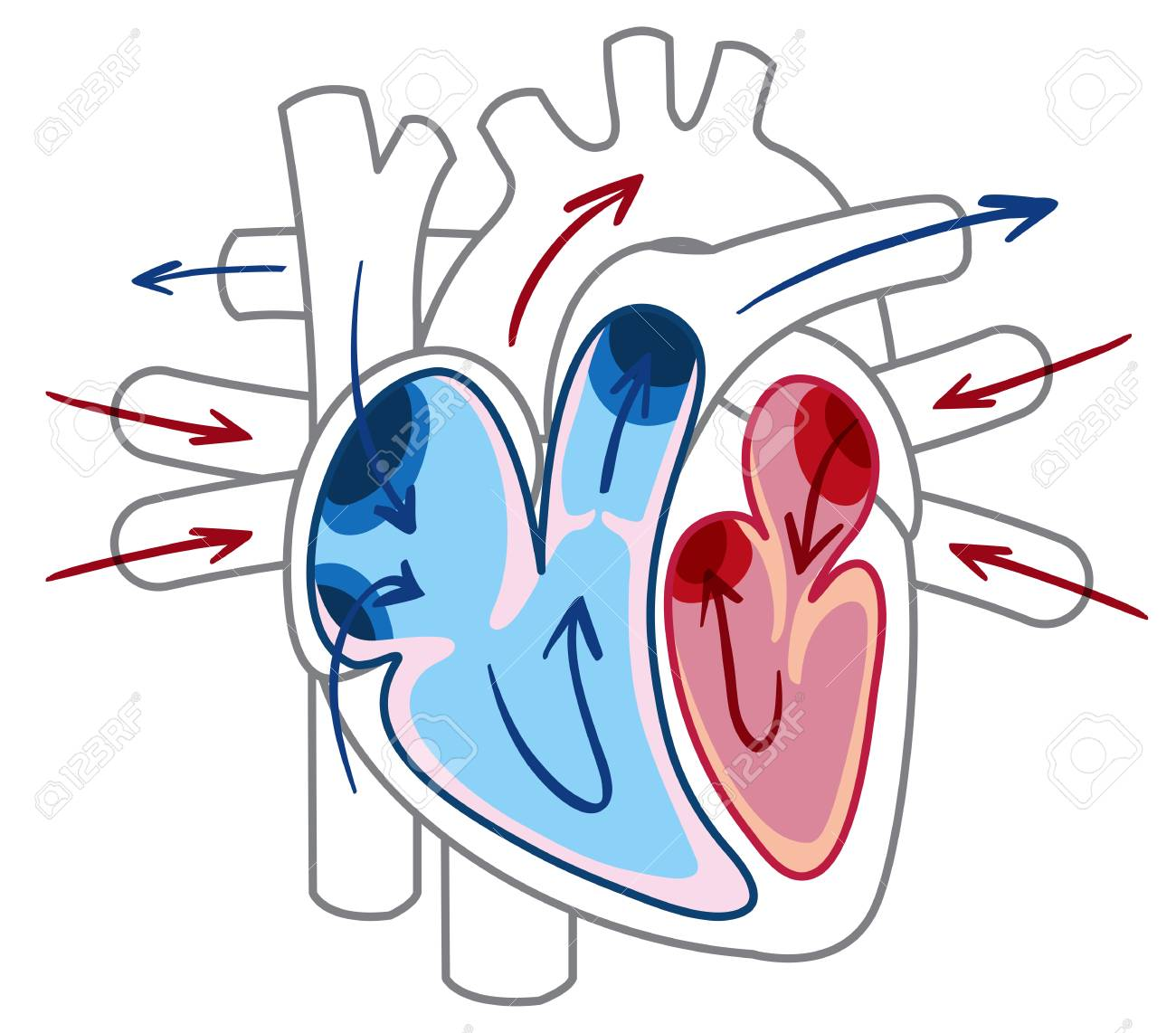 hight resolution of blood flow of the heart diagram illustration stock vector 103619619