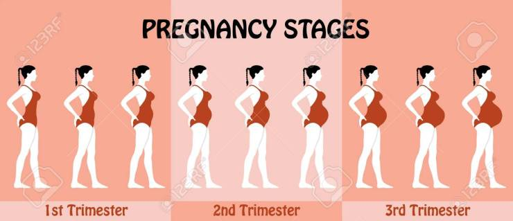 Image result for pregnancy trimesters pictures