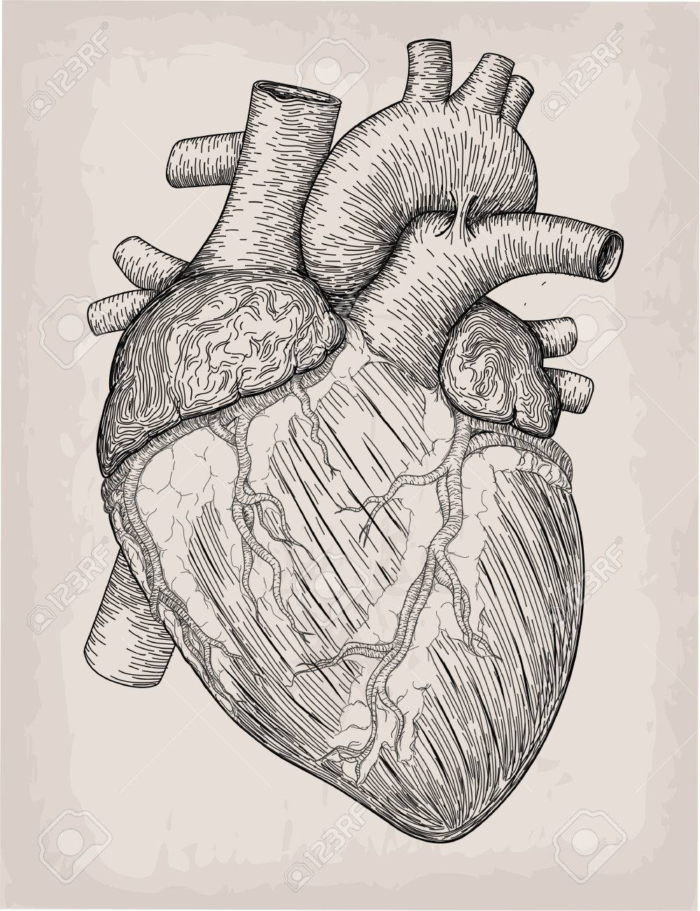 Detailed Heart Drawing : detailed, heart, drawing, Human, Heart, Drawn., Anatomical, Sketch., Medicine,, Vector, Illustration.., Royalty, Cliparts,, Vectors,, Stock, Illustration., Image, 83274958.
