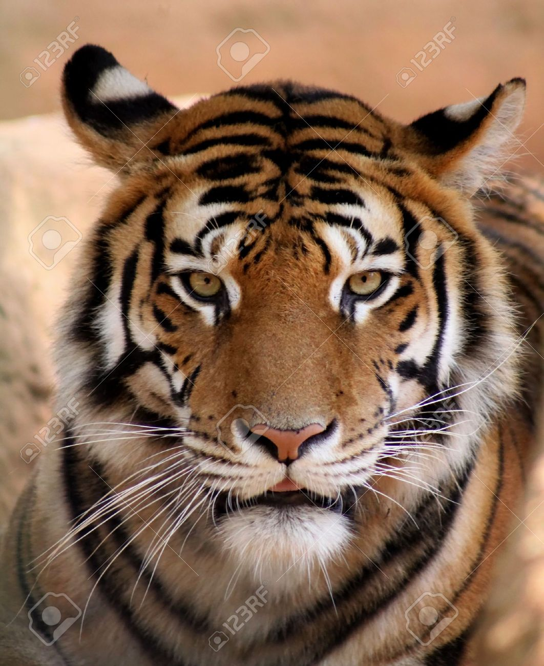close up picture tigers