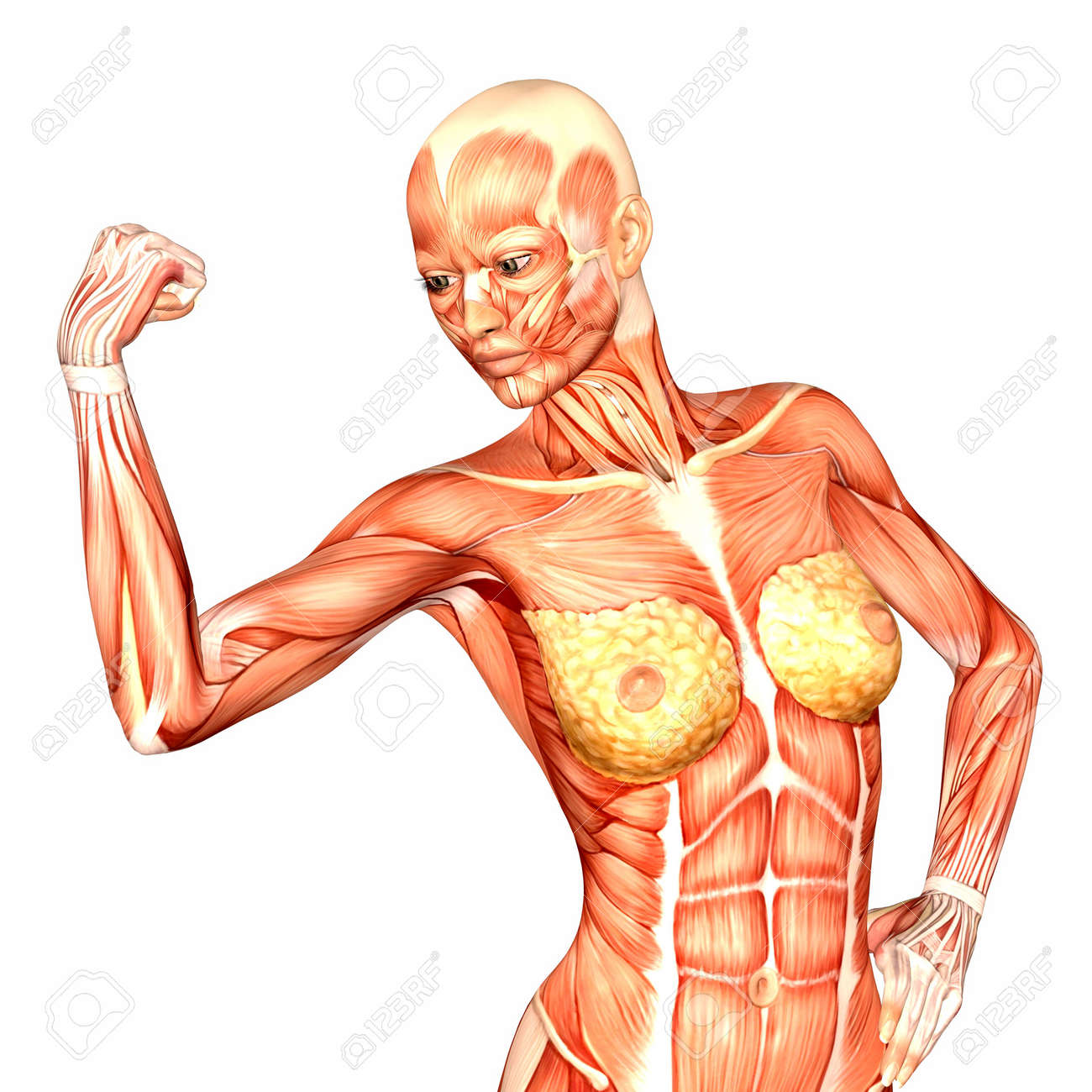 hight resolution of illustration of the anatomy of the female human upper body isolated female upper body diagram woman of upper torso diagram