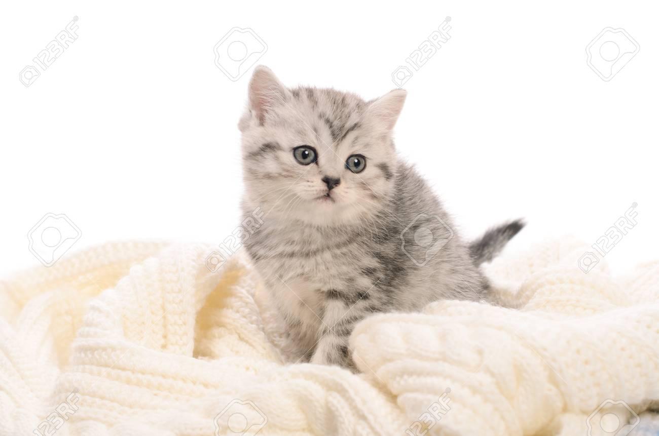 chaton gris clair et blanc get images