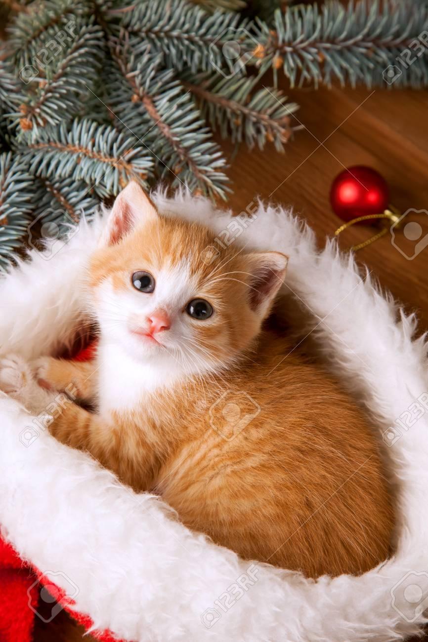 Christmas Cat Background : christmas, background, Ginger, Kitten, Santa, Against, Background, Christmas.., Stock, Photo,, Picture, Royalty, Image., Image, 88492735.