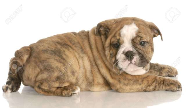 eight week old red brindle english bulldog puppy laying down