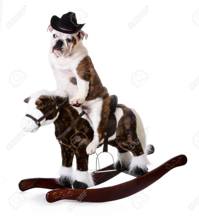country dog - english bulldog riding a rocking horse on white