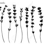 Lavender Flowers Hand Drawn Doodle Vector Black Silhouette Isolated Royalty Free Cliparts Vectors And Stock Illustration Image 76781340