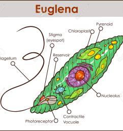 a colored vector illustration of euglena cross section diagram diagram of euglena with labeled diagram of euglena [ 1300 x 1143 Pixel ]