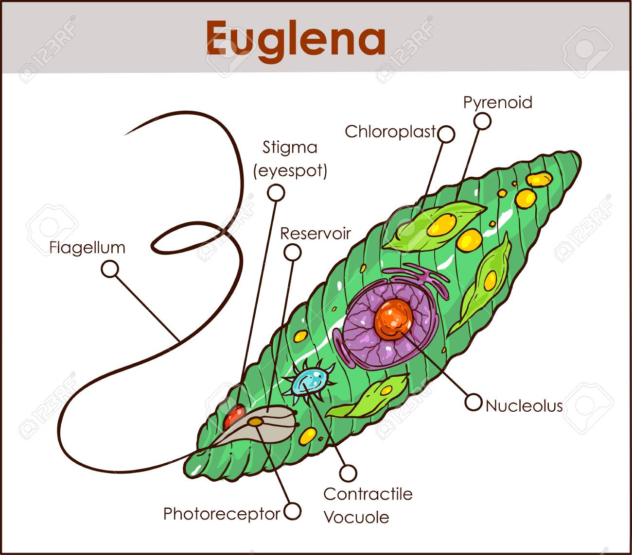 hight resolution of a colored vector illustration of euglena cross section diagram diagram of euglena with labeled diagram of euglena