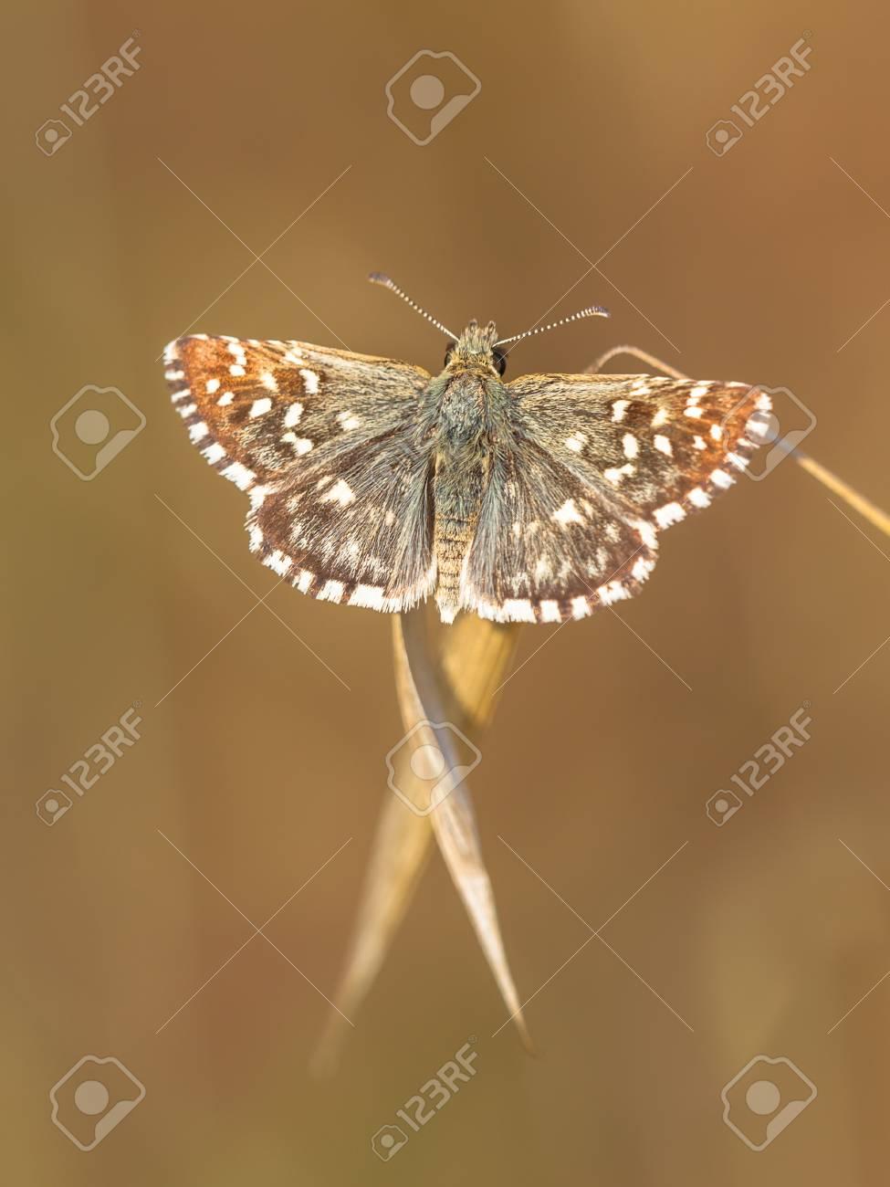https fr 123rf com photo 26229059 brown papillon c3 a0 pois blanc sur brown grass with fond marron html