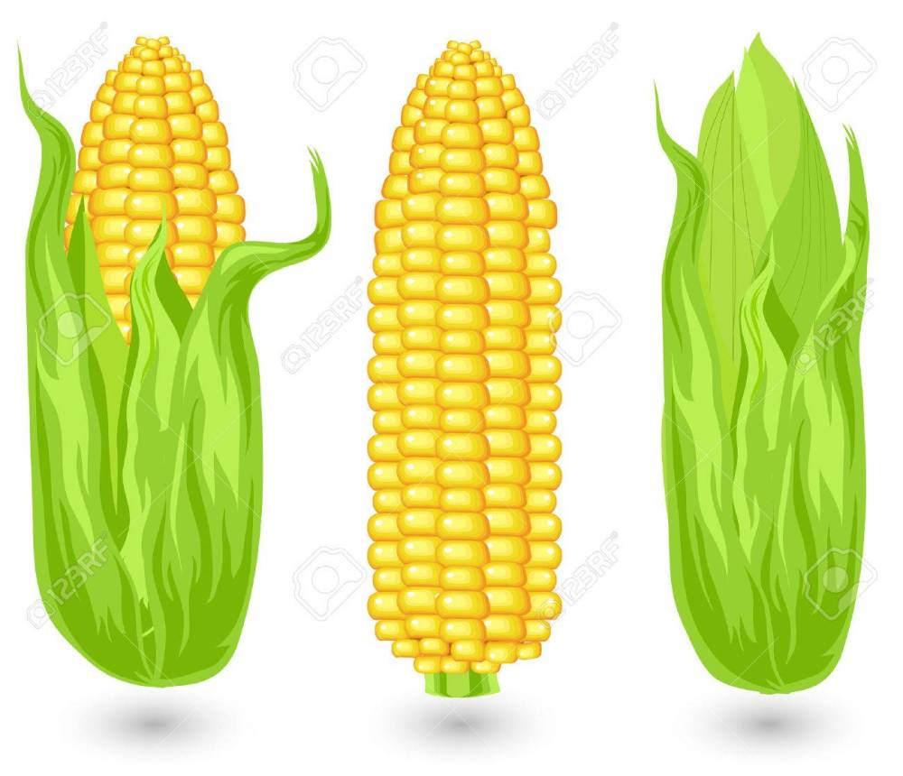 medium resolution of ears of ripe corn agricultural reaped crop illustration stock vector 4755731