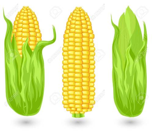 small resolution of ears of ripe corn agricultural reaped crop illustration stock vector 4755731