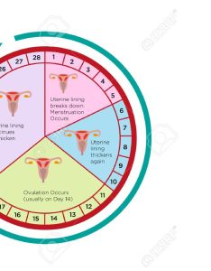 Vector women   fertility cycle calendar chart with different stages editable clip art also rh rf