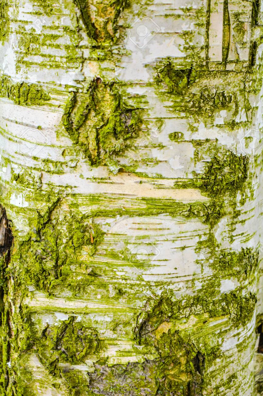 texture of old birch