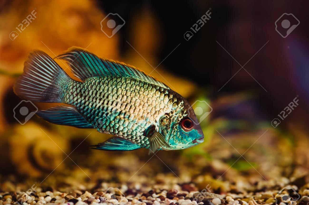 nannacara blue fish floats