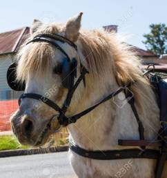 a light coloured shetland pony with a harness stock photo 44387956 [ 1300 x 866 Pixel ]