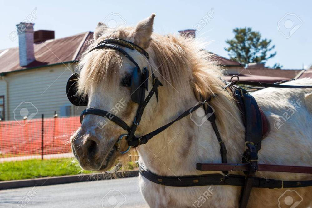 medium resolution of a light coloured shetland pony with a harness stock photo 44387956