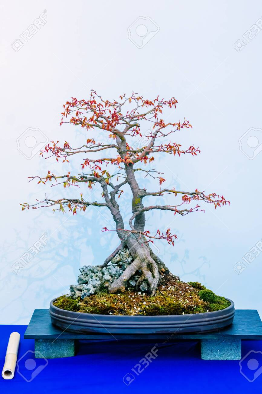 Blue Maple Bonsai Tree : maple, bonsai, Japanese, Maple,, Palmatum,, Bonsai, Tree,, Originally, Japan,.., Stock, Photo,, Picture, Royalty, Image., Image, 143493678.