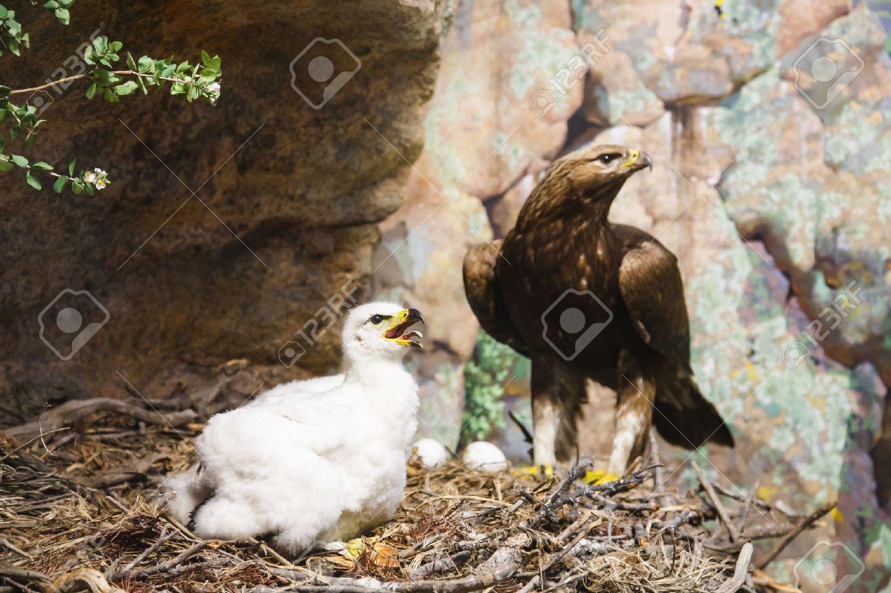 a baby golden eagle