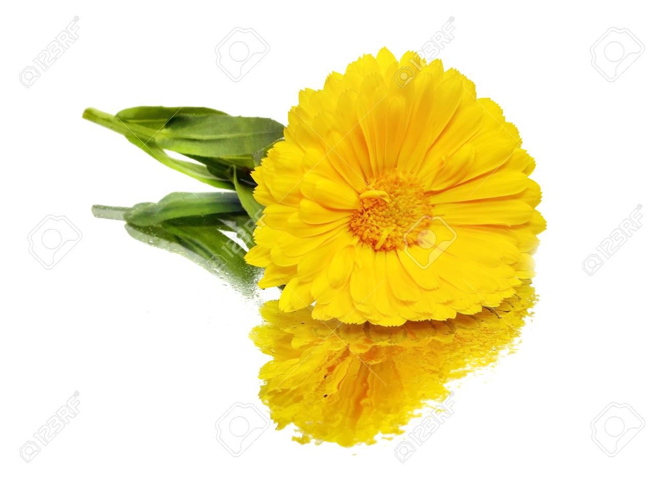 calendula flower on a
