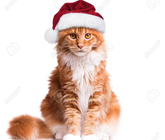 Portrait Of Maine Coon Kitten In Red Christmas Santa Hat Funny Cute Orange Striped Cat