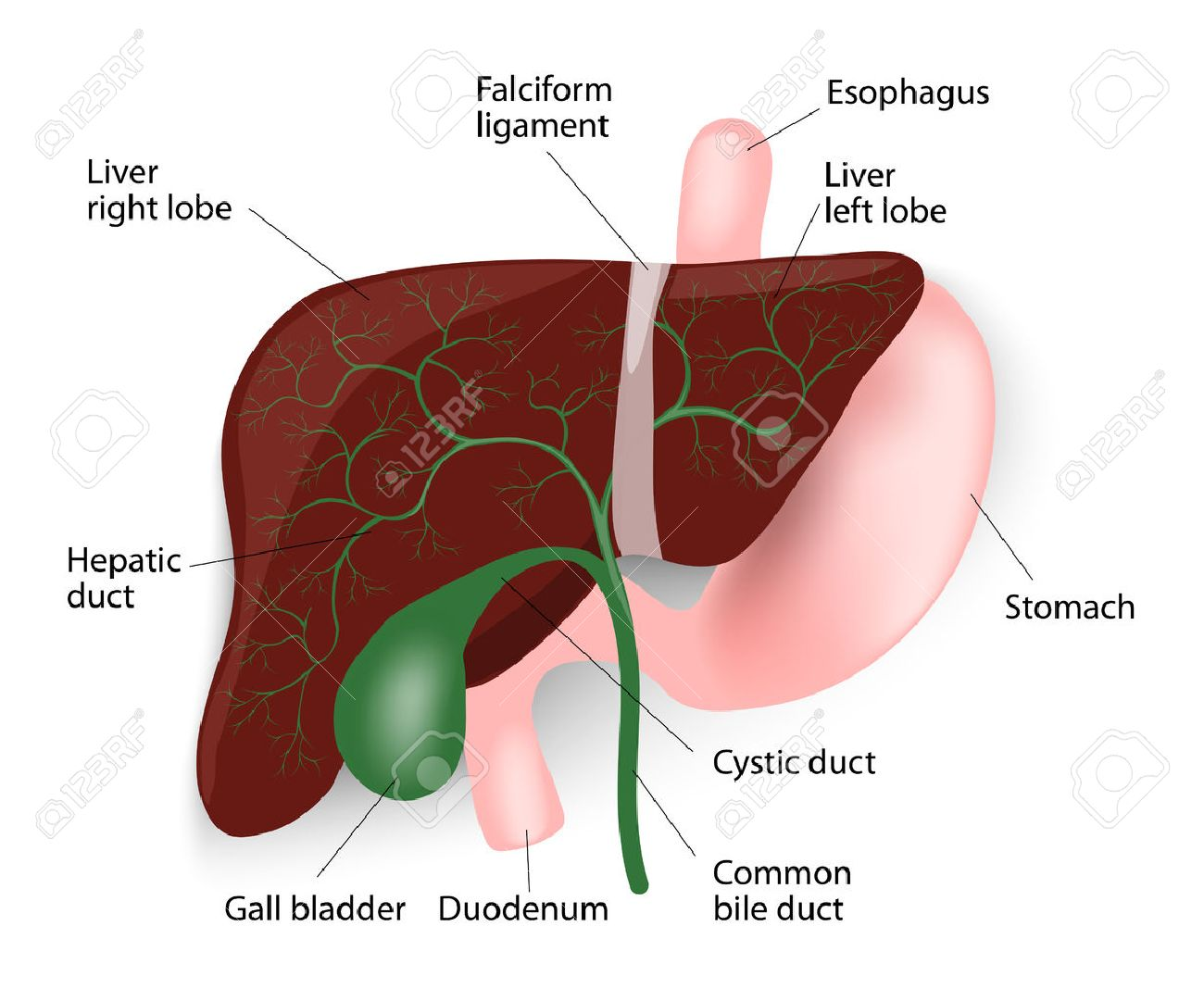 hight resolution of human liver anatomy liver gallbladder esophagus stomach and duodenum vector diagram