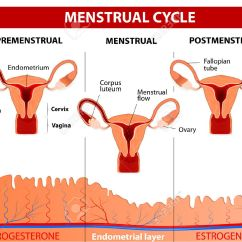 Menstrual Cycle Diagram With Ovulation Animal Small Intestine Menstruation Follicle Phase And Corpus Luteum Vector