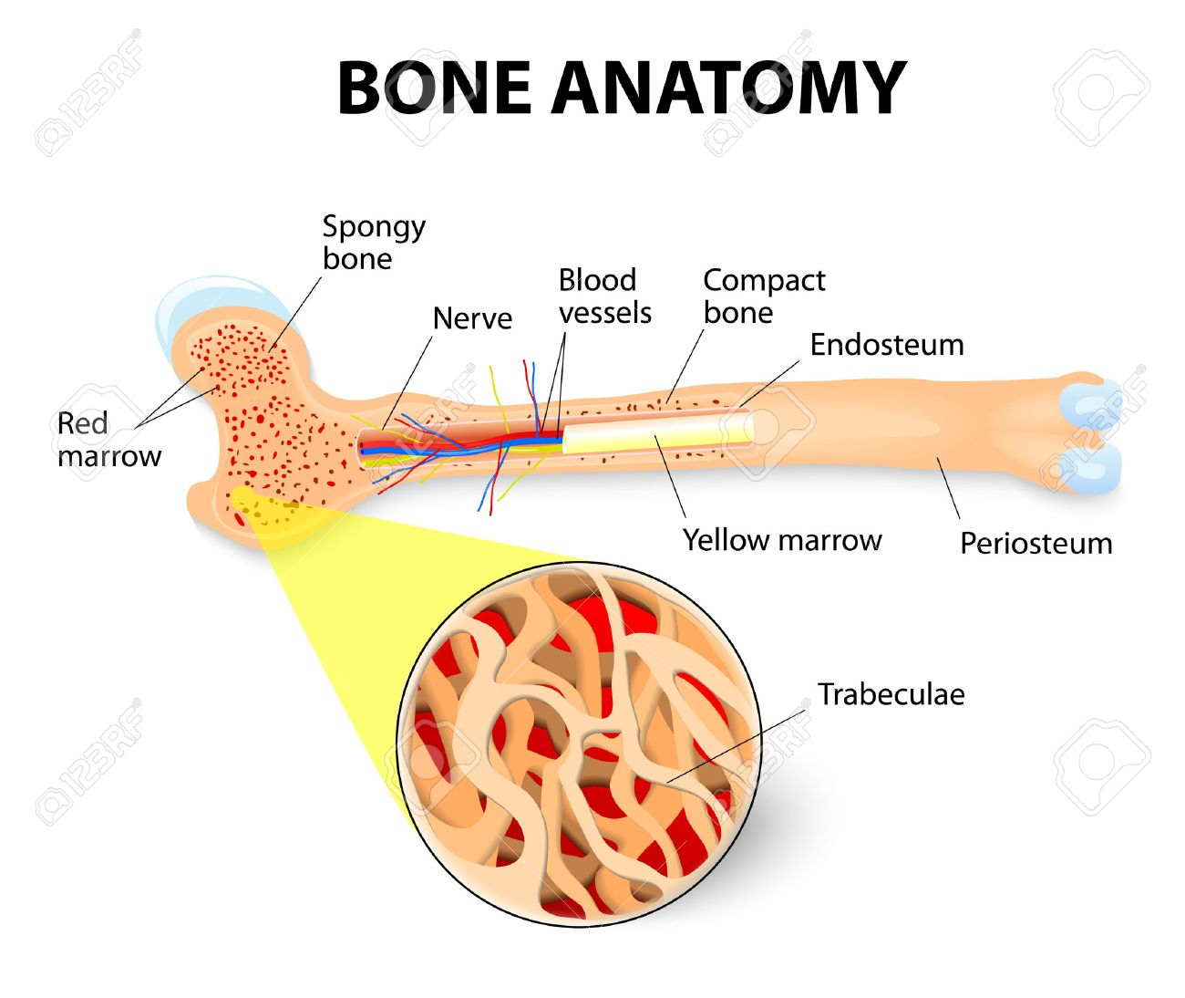 hight resolution of periosteum endosteum bone marrow and trabeculae stock