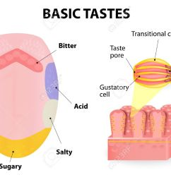 taste receptors of the tongue are present in papillae and are the [ 1300 x 973 Pixel ]