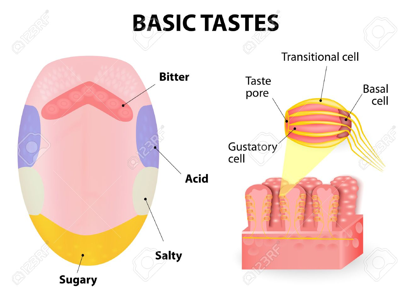 hight resolution of taste receptors of the tongue are present in papillae and are the