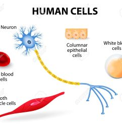 anatomy of human cells neuron red and white blood cell columnar epithelial cells and [ 1300 x 1127 Pixel ]