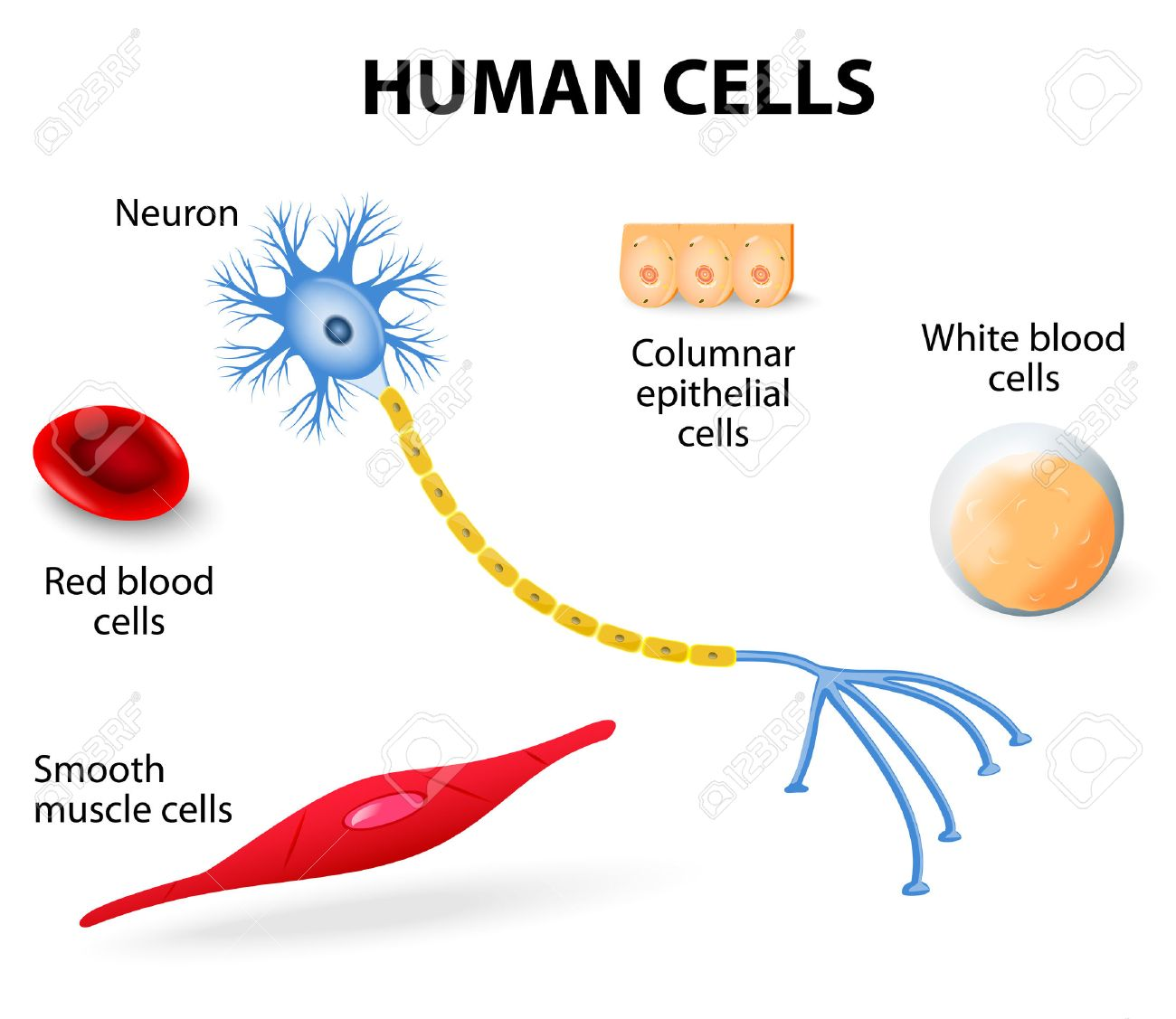 hight resolution of anatomy of human cells neuron red and white blood cell columnar epithelial cells and