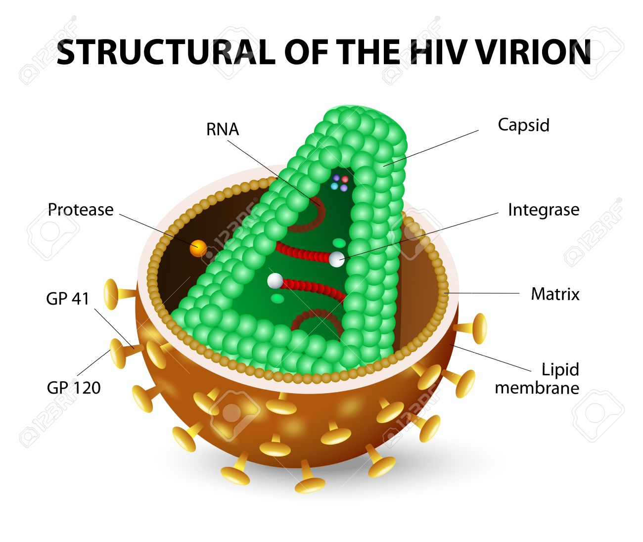 hight resolution of the human immunodeficiency virus or hiv anatomy of the aids virion vector diagram stock