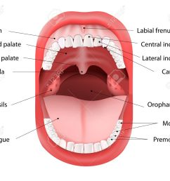 parts of human mouth open mouth and white healthy teeth vector diagram with [ 1300 x 1099 Pixel ]
