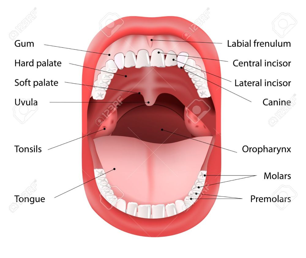 medium resolution of parts of human mouth open mouth and white healthy teeth vector diagram with
