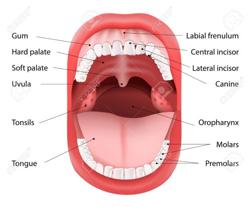 small resolution of parts of human mouth open mouth and white healthy teeth vector diagram with