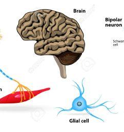 nervous system human anatomy brain motor neuron glial and schwann cell  [ 1300 x 970 Pixel ]