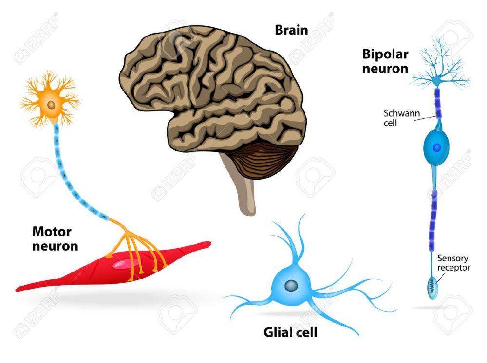 medium resolution of nervous system human anatomy brain motor neuron glial and schwann cell