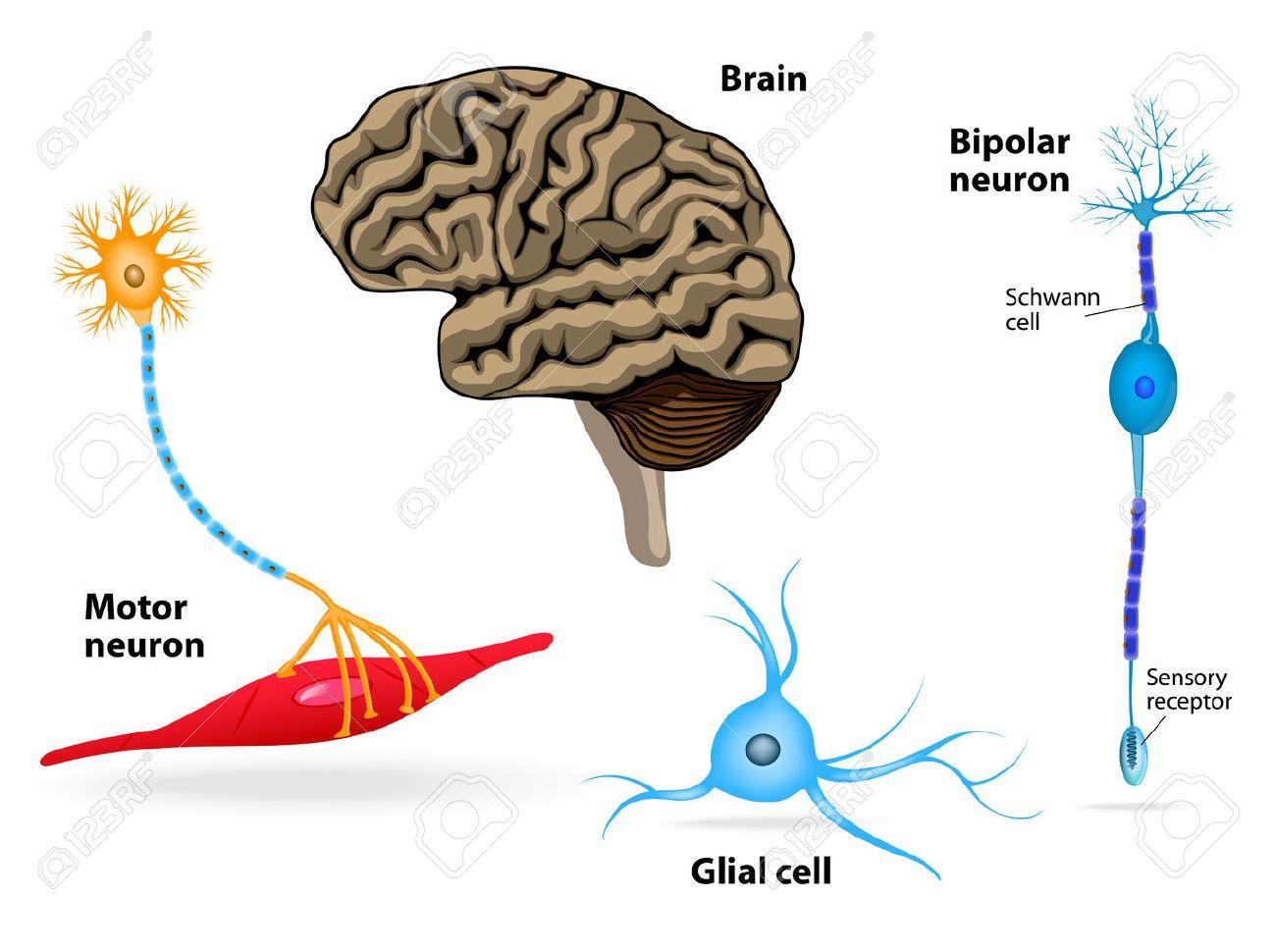 hight resolution of nervous system human anatomy brain motor neuron glial and schwann cell