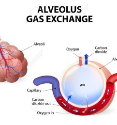 alveolus gas exchange alveoli and capillaries in the lungs stock vector 34806367 [ 1300 x 1004 Pixel ]